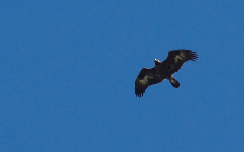 Golden Eagle juvenile Summit Ledges Hawk Ridge Duluth MN IMG_7587.jpg