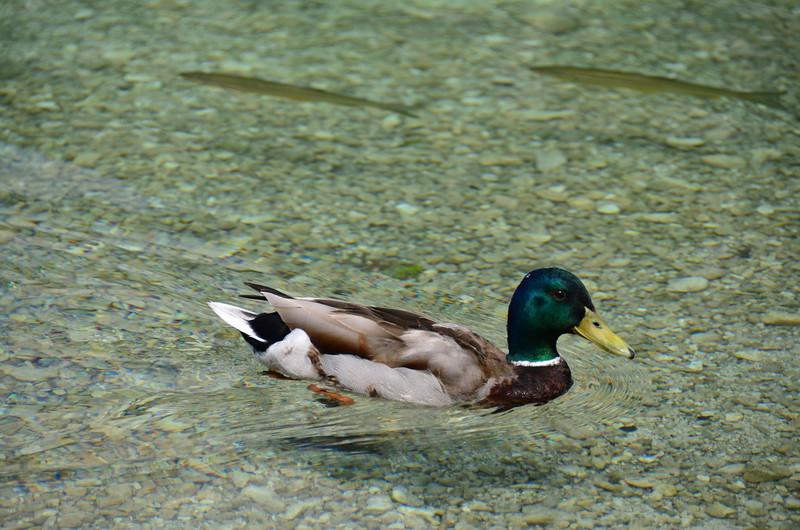 Duck and FIsh. Bohinjsko jezero