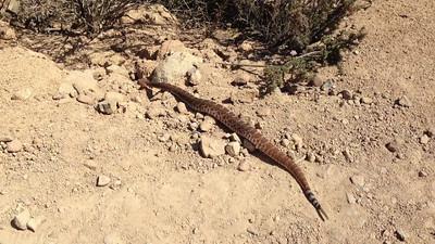 Red Diamond Rattlesnake @ Cowles Mountain 7/31/2012