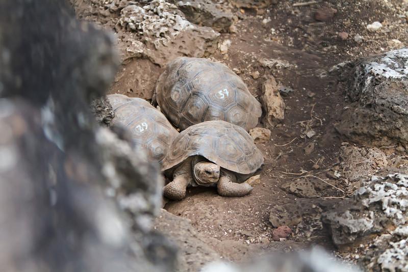 Galapagos Tortoise babies at Charles Darwin Research Station,  Santa Cruz, Galapagos, Ecuador (11-20-2011) - 313.jpg