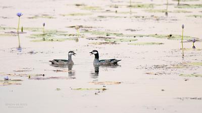 Green Pygmy Goose (Nettapus pulchellus)