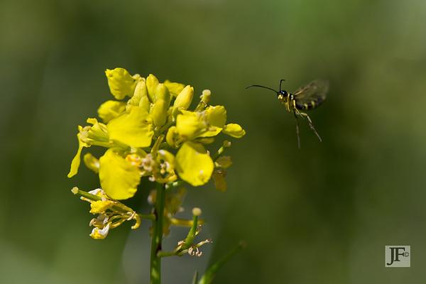 Stem Sawflies