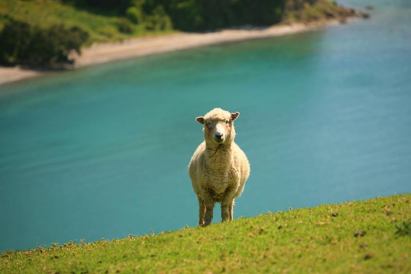 Curious sheep,  Mahurangi Regional Park
