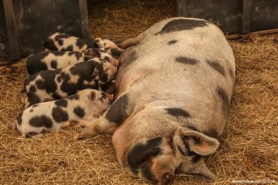 Pigs - Set 3