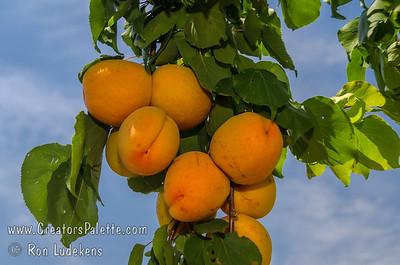 Flavor Giant Apricot - Prunus armeniaca sp.