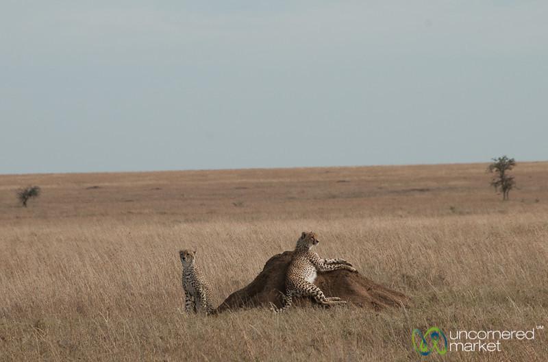 Cheetah Brothers Lazing Around - Serengeti, Tanzania