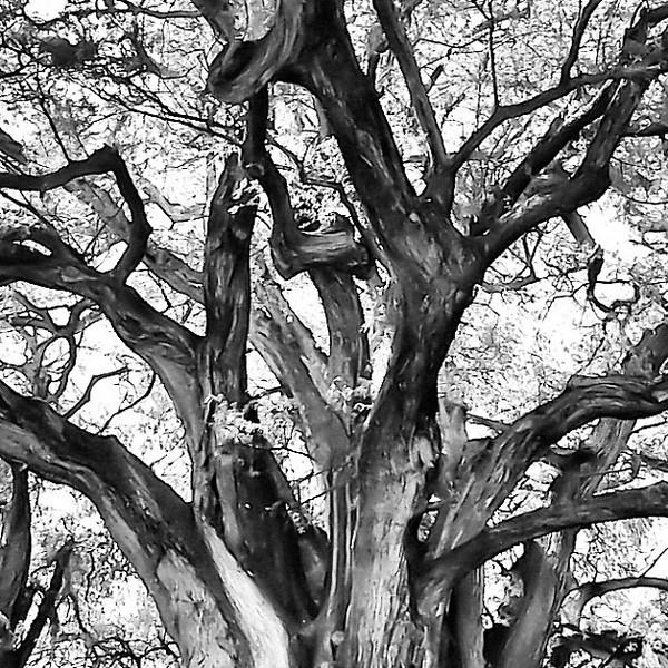 Ahuehuete, widest tree in the world, Santa Maria el Tule #Mexico