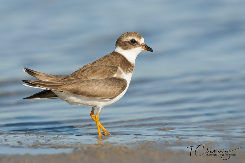 Semipalmated Plover 012019-1546972723693.jpg