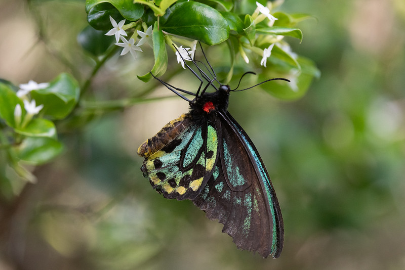 Richmond Birdwing