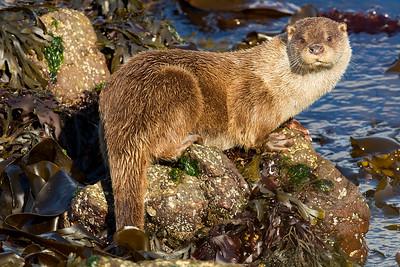 Otter (Nutria)