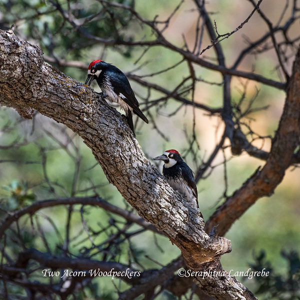 _DSC2944Two Acorn Woodpeckers.jpg