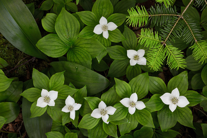Seven Bunchberry Blooms