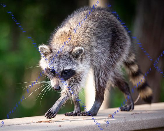 UCF Raccoon - May 4, 2021