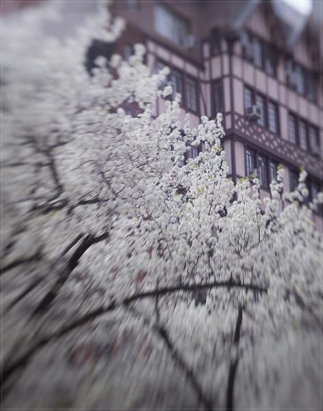 20140418 DSC09680 Spring white tree 11x14.jpg