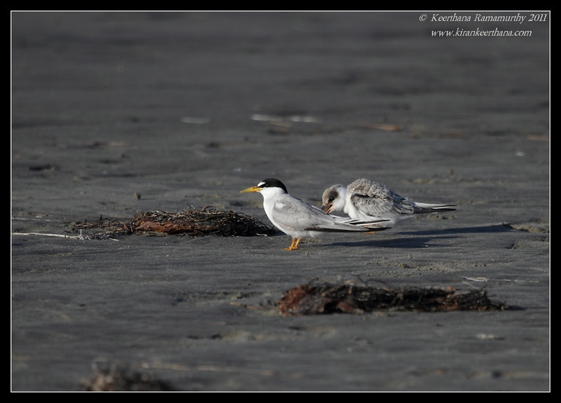 Adult and juvenile Least Tern at the beach, Robb Field, San Diego River, San Diego County, California, July 2011