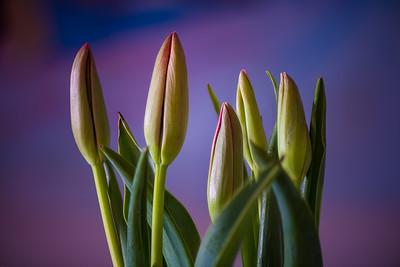 Tulips Macro (2021-03-08)
