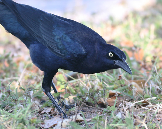 Greattailed Grackle