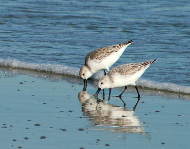 Sanderlings and other shorebirds