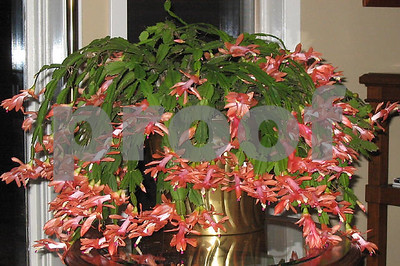 you-can-achieve-success-with-your-christmas-cactus