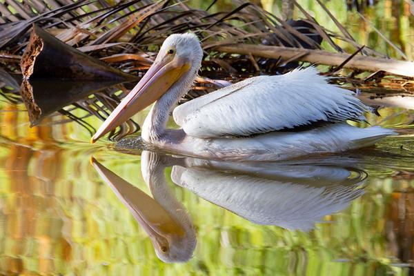 More Pelicans - 1/18/19