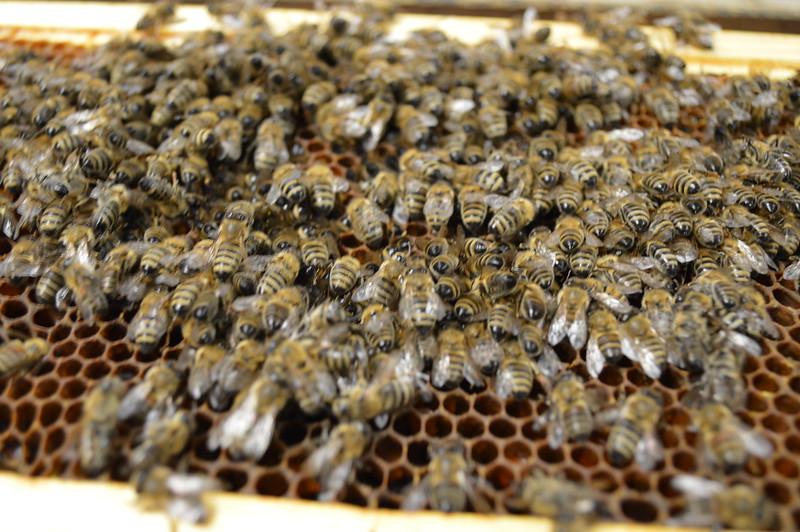 2015-01-30_Hive#3_Dead_Bees_005.JPG