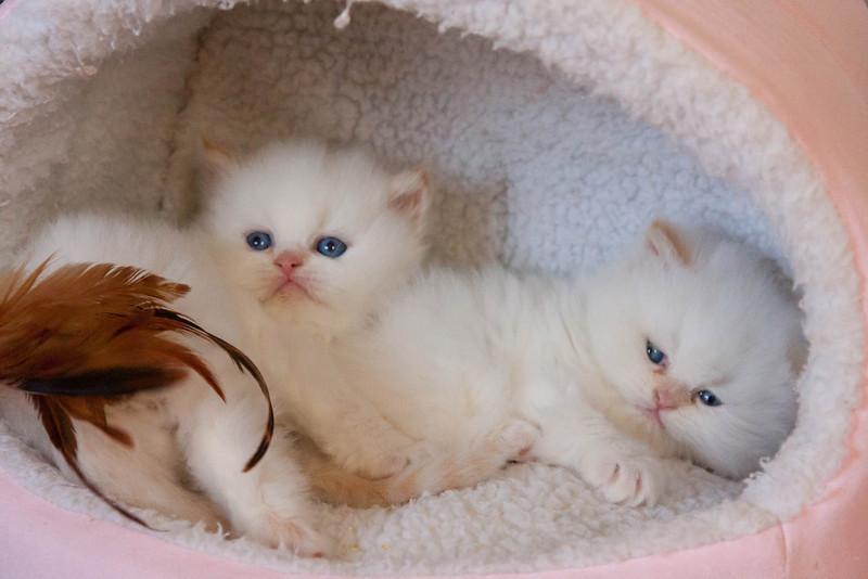 Himi_Kittens_Nov30-7927.jpg