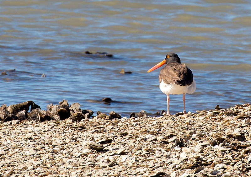 Oyster Catcher stands on his private island.