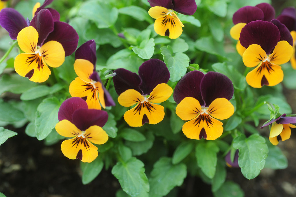 . Viola bloom in the Sunken Garden.  (Pioneer Press: Scott Takushi)