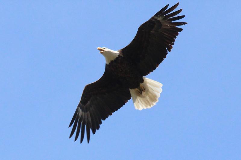 Eagle 04.jpg