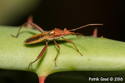 Brown Bean Bug