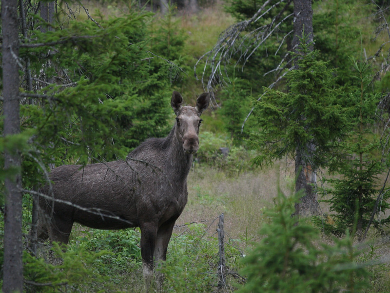 Elg Moose in Fåvang mountains