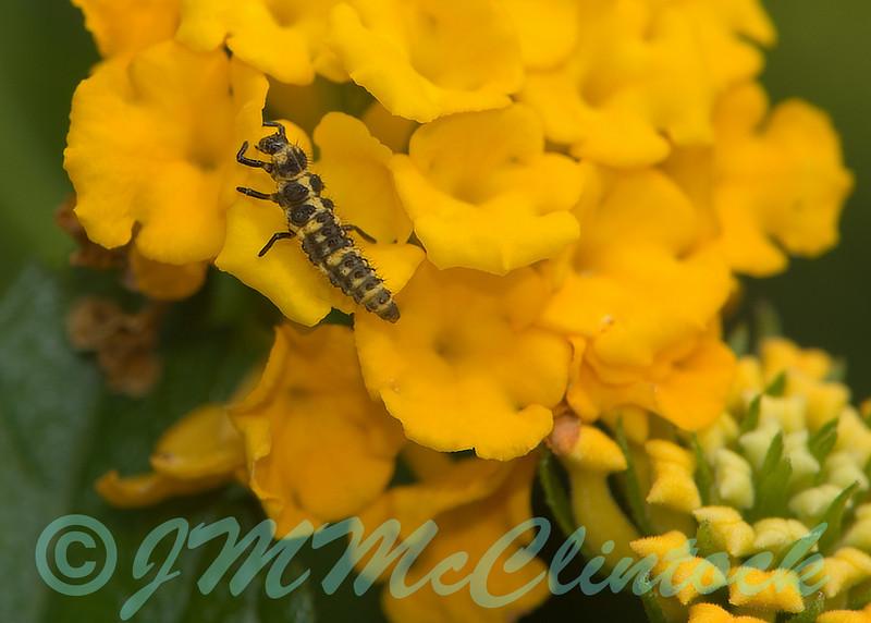 A ladybug larvae. 9-3-06