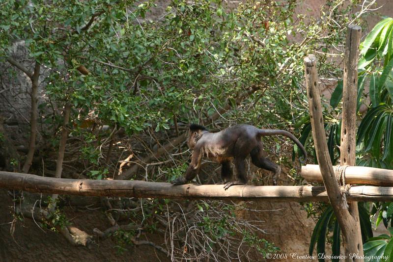 Brown Capuchin17.jpg