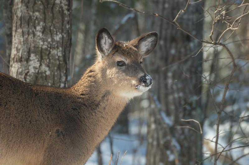 White-tailed Deer at bird feeders Skogstjarna Carlton County MNSNY04401.jpg