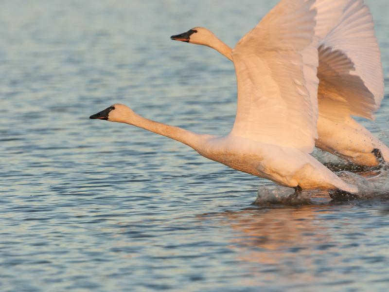 Trumpeter Swan Pair Take Off.jpg