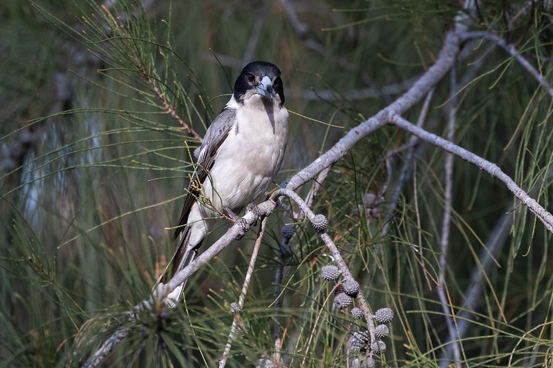 Grey-Butcherbird_GL_4911.jpg
