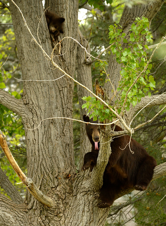. A mother black bear and her two cubs rest in a tree in the Wonderland Lake neighborhood in Boulder, May 21, 2014. Officials are hoping the bears with move west soon back into the mountain and away from people. (Photo by RJ Sangosti/The Denver Post)