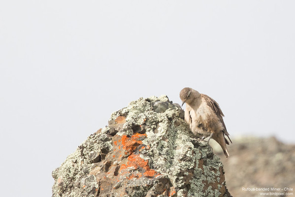 Rufous-banded Miner