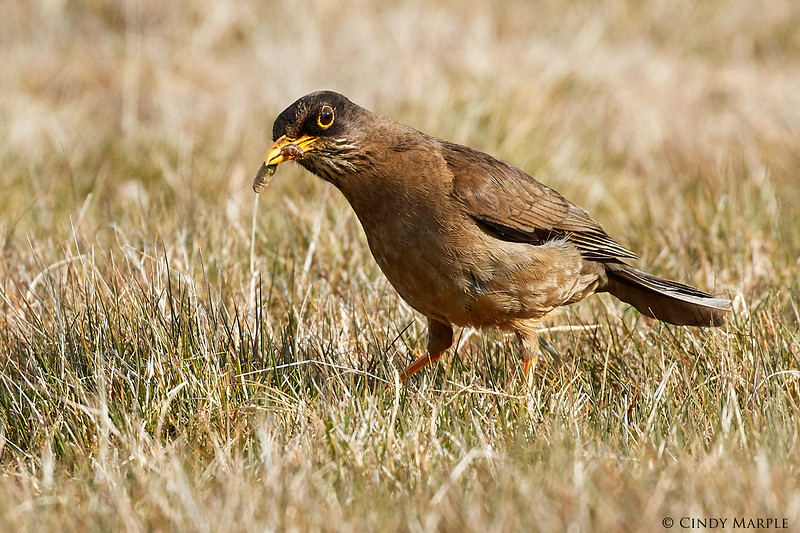 Austral (Falkland) Thrush