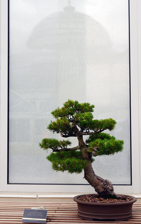 . A Japanese white pine in the bonsai collection at the Charlotte Partridge Ordway Japanese Garden. (Pioneer Press: Chris Polydoroff)