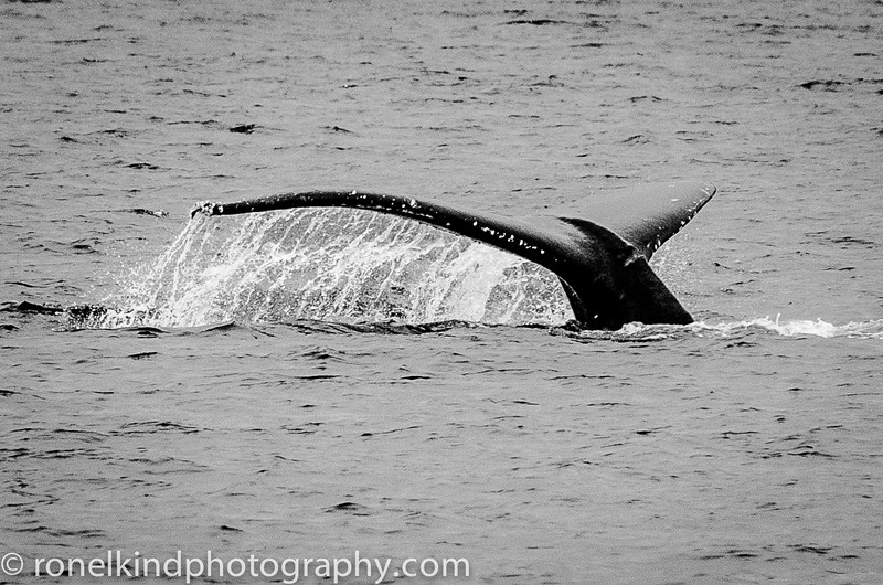 Humpback whale diving..