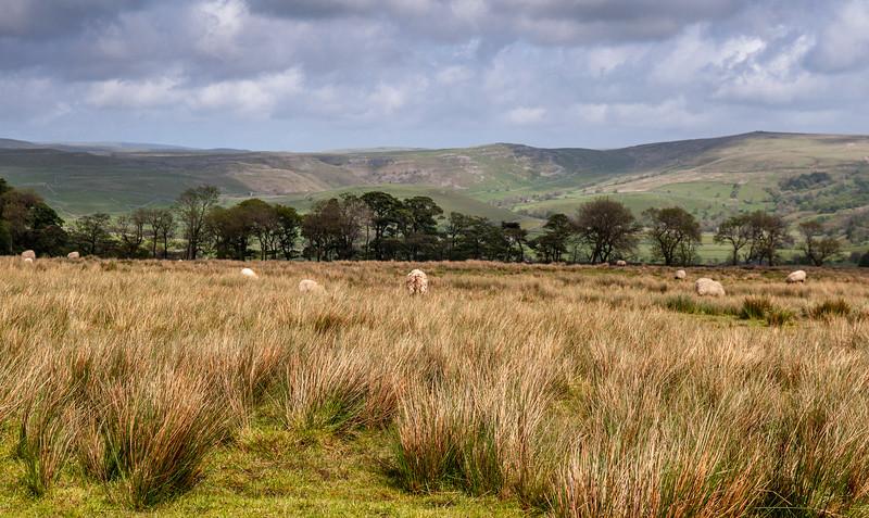 Sheep above Malhamdale