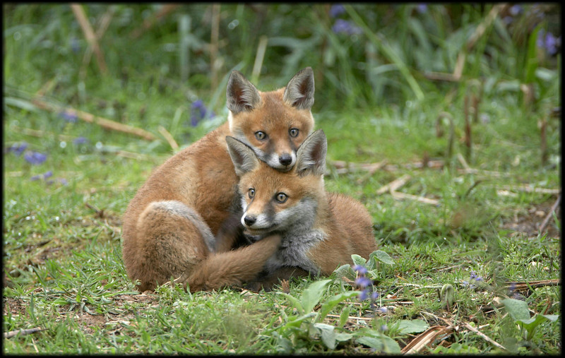 Fox Cub - 0301.jpg