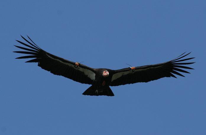 Calif A, 3-07, Condor 171.JPG
