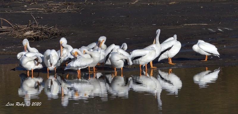 American White Pelicans  - 1/3/2020 - Lake Hodges Bernardo Bay Trail