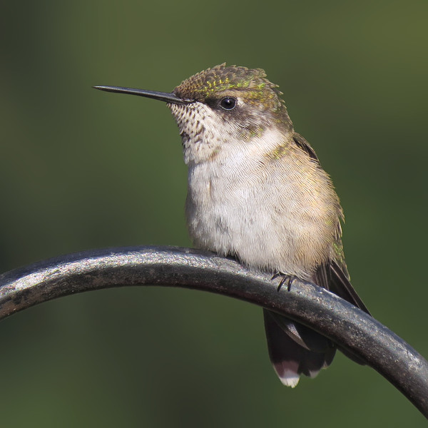 sx50_hummingbird_202.jpg