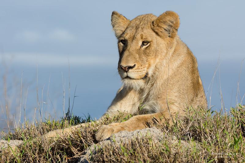 African Lion, Sabi Sands (EP), SA, Sept 2015-7.jpg