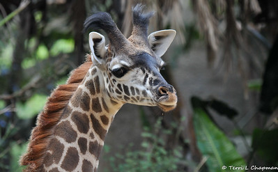 A Female Masai Giraffe Calf Born 2018