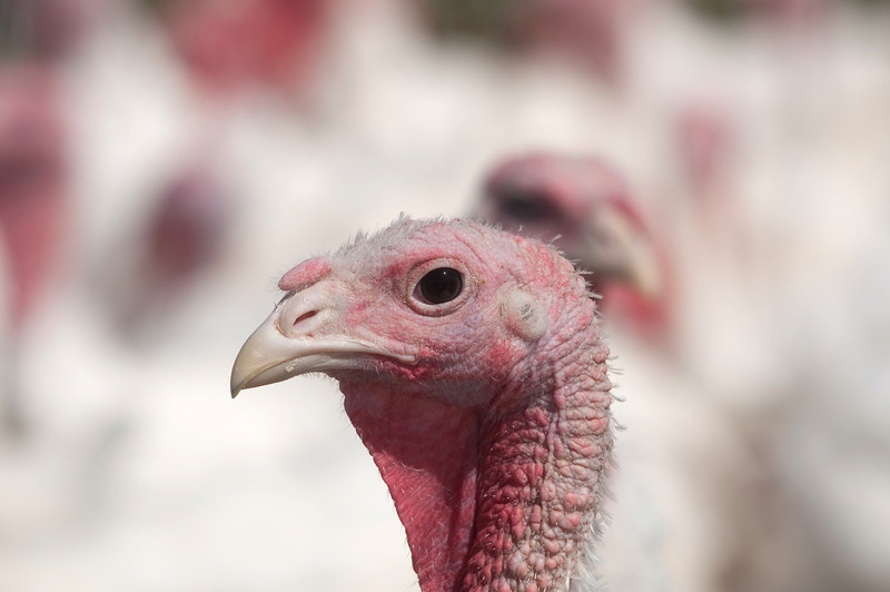 Pasture raised white turkey on a farm in Midwestern US