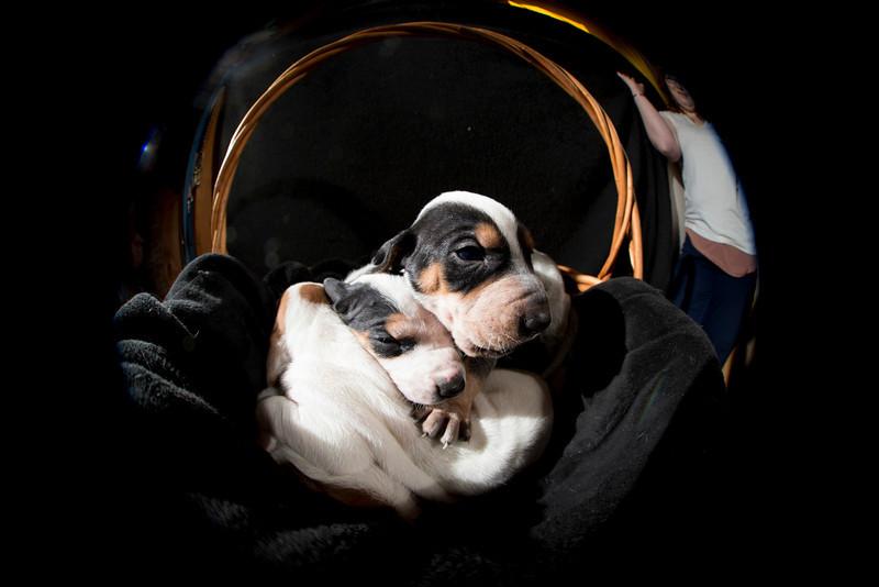2 week old Coonhound puppies